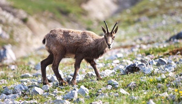 Schweizer Pärke: Gämsen und Steinböcke beobachten im Schweizer Nationalpark
