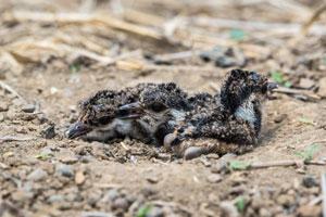 Die Küken der Kiebitze verlassen schnell das Nest