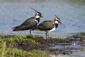 Kiebitze leben monogam: Männchen und Weibchen am Ufer
