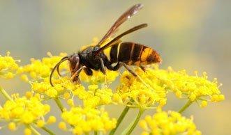 Asiatische Hornisse bedroht die Schweizer Bienen