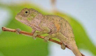 Seltene Chamäleons schlüpfen in englischem Zoo