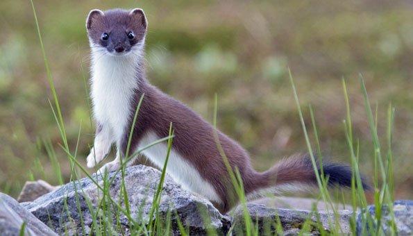 Flinker Jäger: Das Hermelin ist Schweizer Tier des Jahres 2018