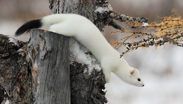Im Winter hat das Hermelin ein schneeweisses Fell
