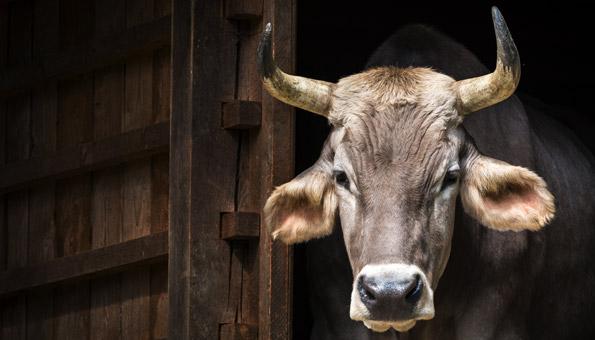 Hornkuh-Initiative: Die 11 wichtigsten Fragen und Antworten