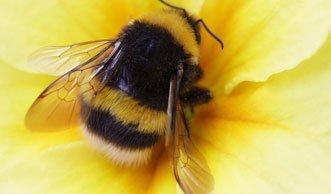 Weniger Nachwuchs bei Hummeln wegen Pestiziden