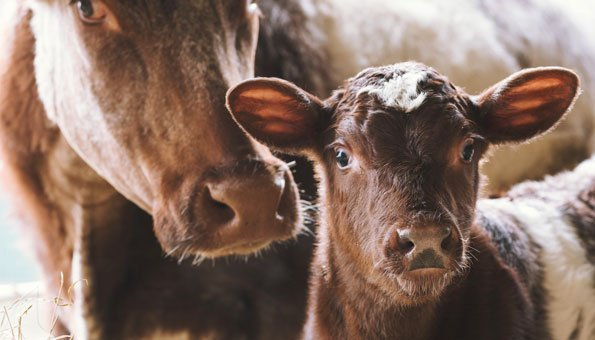 Jeder Abschied schmerzt: Peta-Video zeigt Leid von Milchkühen