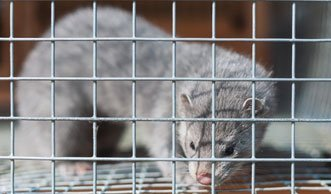 Norwegen lässt sämtliche Pelzfarmen schliessen