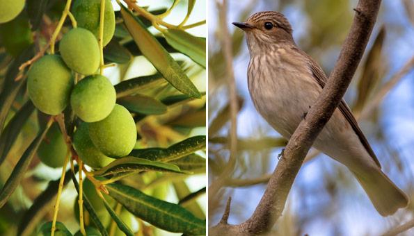 Olivenernte tötet jährlich Millionen Singvögel im Mittelmeerraum
