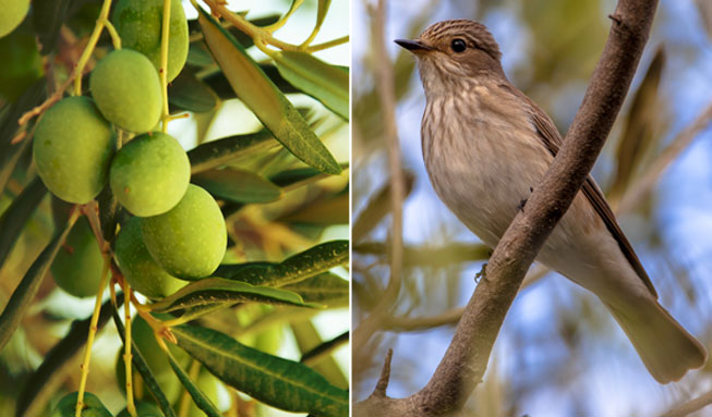 Millionen Singvögel sterben jedes Jahr für unser Olivenöl