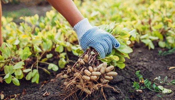 Erdnüsse wachsen unter der Erde