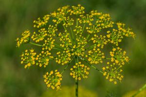 Gelbe Blüten von der Fenchelpflanze