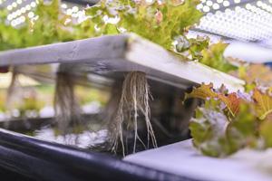Salat wächst mithilfe von Aquaponik