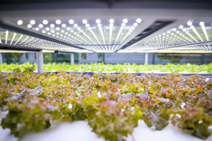 Salat wächst in indoor Farm mit künstlichem Licht