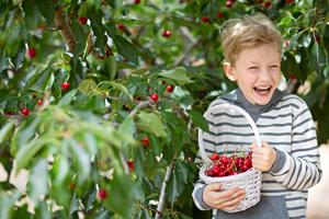 Frisch vom Baum: Hier pflückst du Kirschen selber