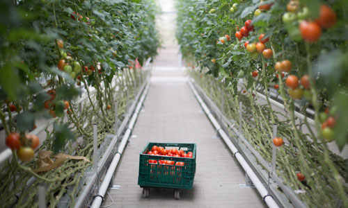Tomaten im Treibhaus schlecht fürs Klima?