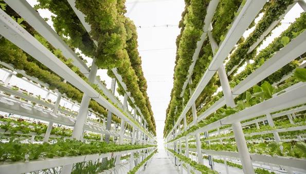Urban Farm mit vertikalem Anbau von Salat in Aquaponik